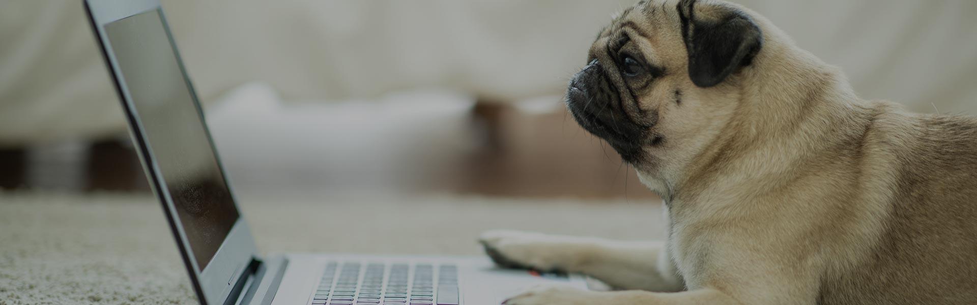 pug laying down staring at laptop