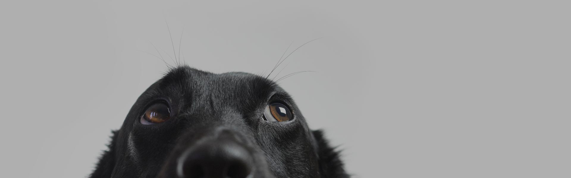 black dog from nose up looking upwards on grey background