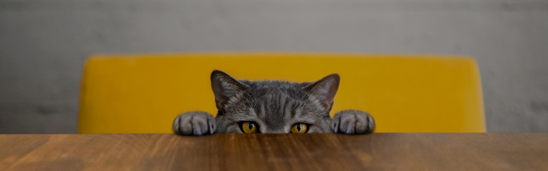 grey cat on yellow chair peeping over a table