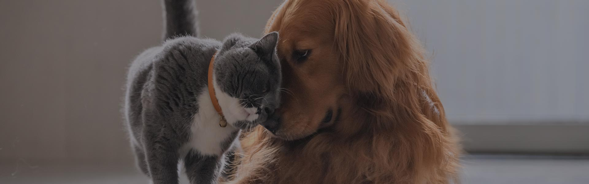 grey and white cat rubbing heads with golden retriever